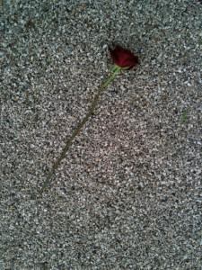 Il primo fiore sulla sua tomba